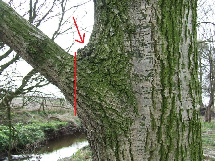 Retrieved from http://commons.wikimedia.org/wiki/File:Branch_collar_on_Qrob_02.JPG. Red lines added by me in MS Paint